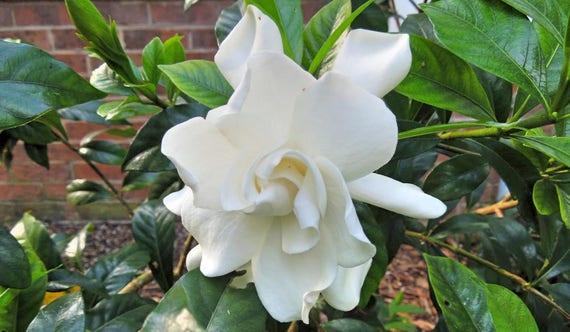 Gardenia Jasminoides August Beauty Plant FREE SHIP | Etsy