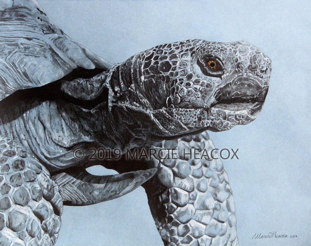 Desert tortoise original graphite and colored pencil drawing by marcie heacox turtle reptile realism realistic blue black white eye
