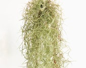Spanish Moss SALE Live Air Plant Tillandsia Usneoides, Succulent Wedding, Rustic Wedding Deocr, Hanging Air Plant, Wholesale Air Plants