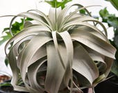 SALE Xerographica Air Plant Tillandsia, LARGE Air Plant, Succulent Wedding, Hanging Air Plant, Wholesale Air Plant, Indoor Plants, Airplant