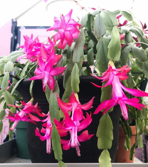 Christmas Cactus Plant.Live Plant Schlumbergera X Buckleyi True Christmas Cactus Holiday Cactus Plants For Home Office Container Garden Decor Gifts Succulents