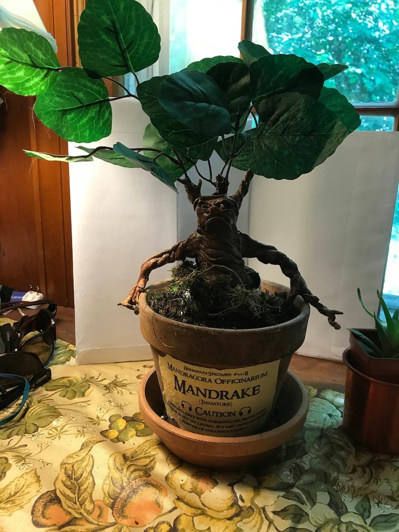 Mandrake Plant Large