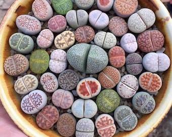 Lithops mix 50 seeds (Living stones) succulent