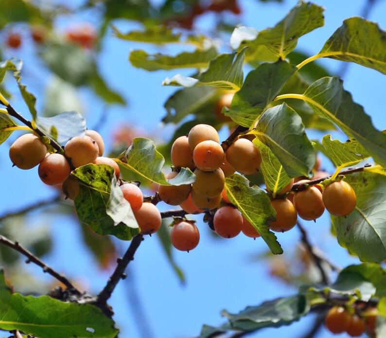 Date-plum 3 seeds Caucasian persimmon Diospyros lotus lilac persimmon