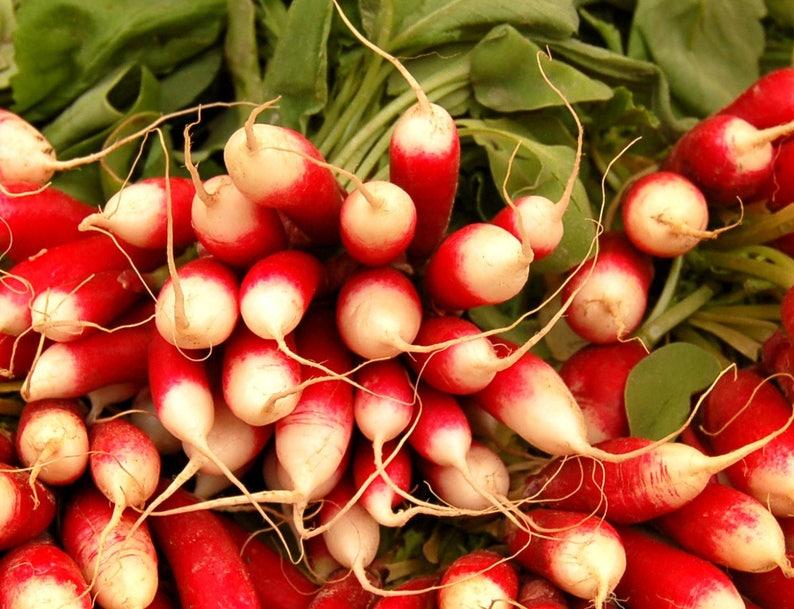 French breakfast Radish Radish Slovana 50 seeds