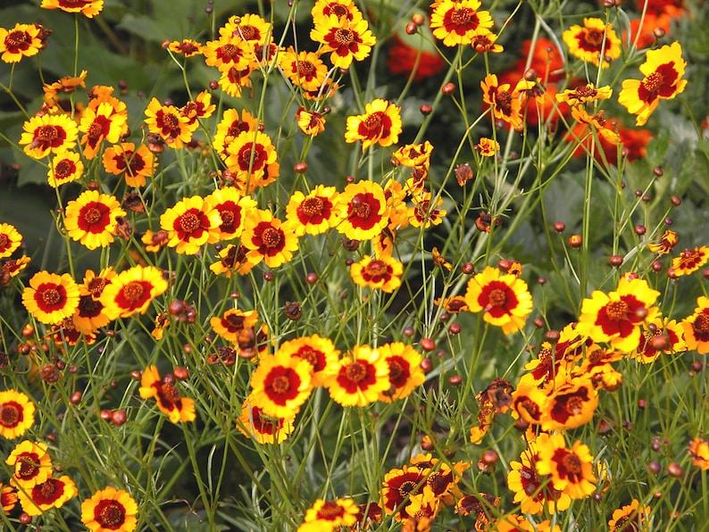 Plains coreopsis  100 seeds  Coreopsis tinctoria  golden image 0