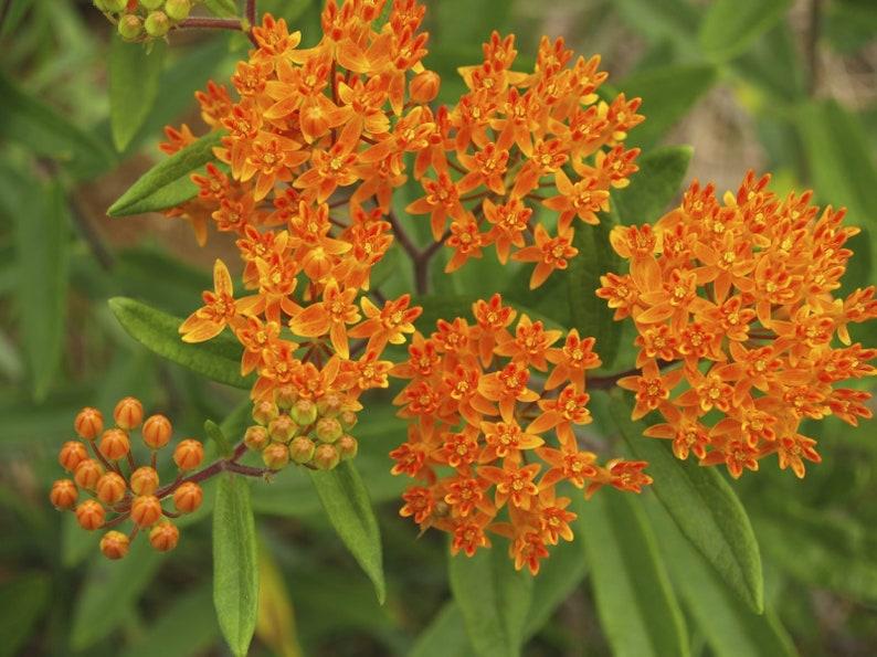Chigger Flower Butterflyweed Asclepias tuberosa Orange Milkweed 5 seeds Pleurisy Root Butterfly Milkweed