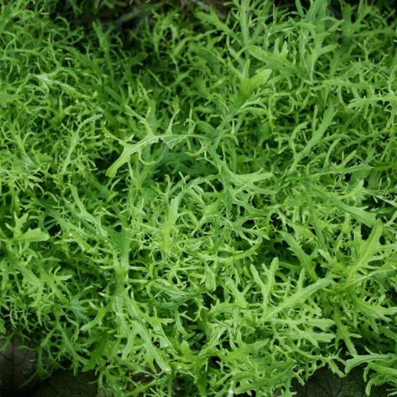15 seeds kyona Brassica rapa var japonica Mizuna Green Streak Japanese mustard greens