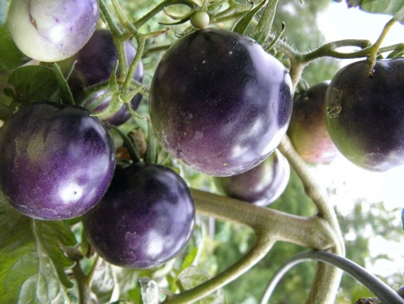 Bosque Blue Tomato 10 Seeds Etsy