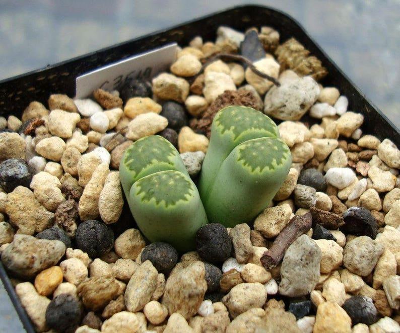 Living rocks succulents Lithops salicola 18 seeds