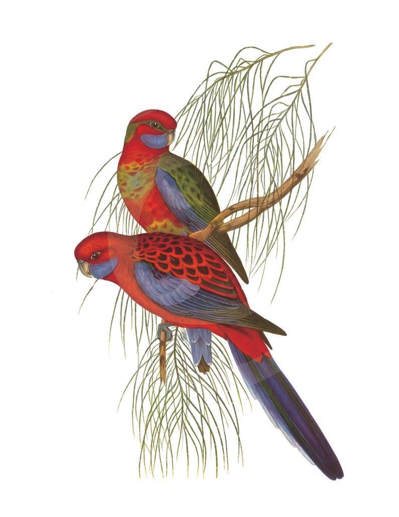 Parrot Clip-Art, Antique Bird Illustration, Parrot, Parrots Clip Art, Clip  Art, Parrot Download, Parrot Printable, Parrot Download, Red Bird