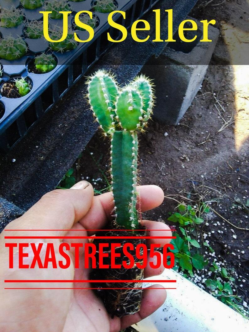 cacti Acanthocereus tetragonus 'Fairy Castle W 2 1//2 Inches Height 3 1//2 Inches