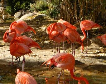 Flamingos Photograph