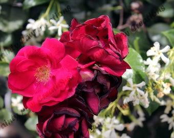 Wilting Rose Photograph