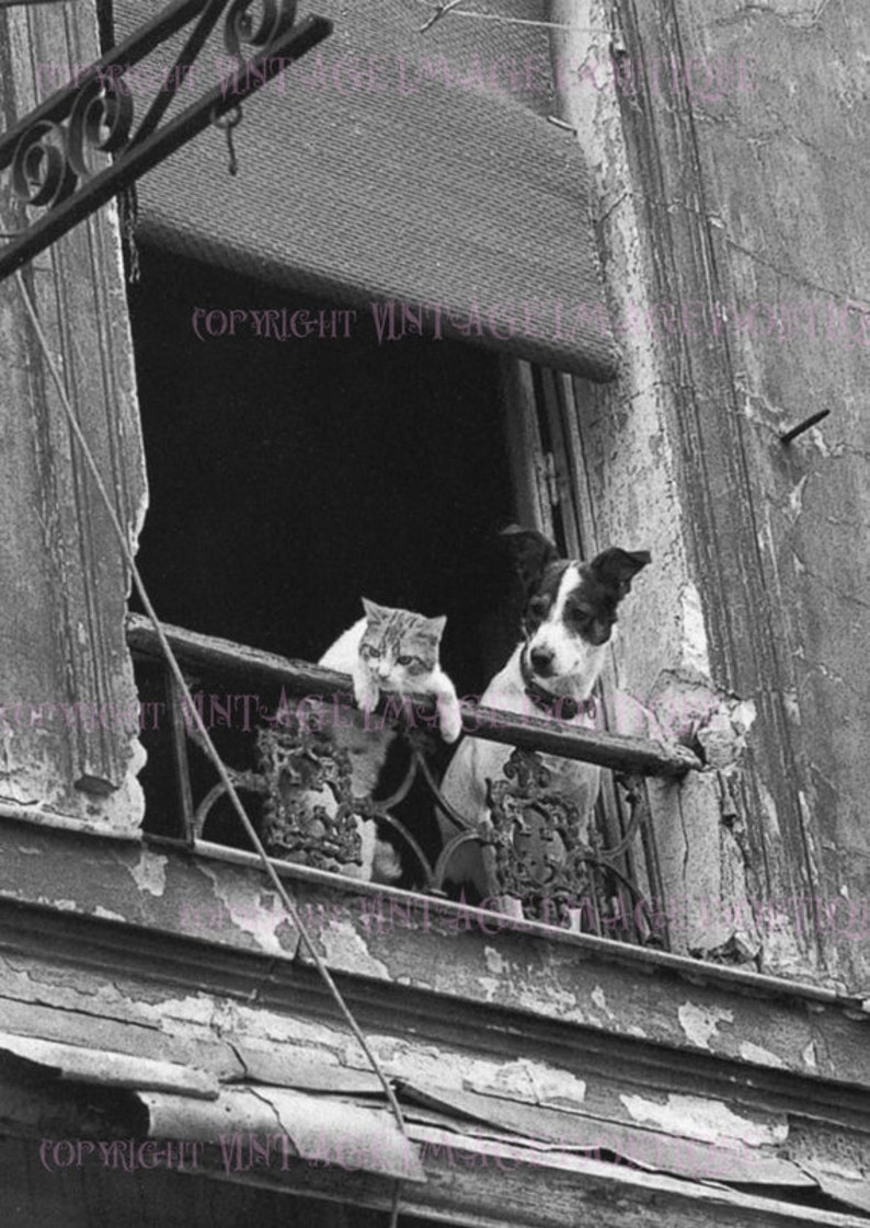 Vintage 1930s black white photograph of a terrier and his feline best friend peering out their paris window 5x7 greeting card