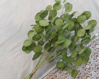 """20"""" 5 Branches Lunaria Biennis, Money Plant, dried Silver Dollar Plant, Lunaria branches with green seeds, Bouquet of natural dried Lunaria"""