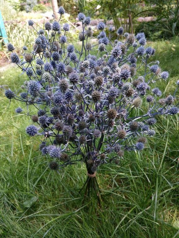 Bouquet De Panicaut Sauvage Sechee 15 Tiges Seche Un Chardon Bleu