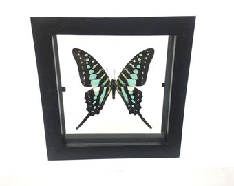 Lovely Blue Graphium Policenes  Butterfly/Insect/Taxidermy/Lepidoptera