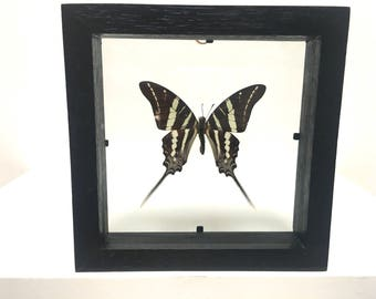 Graphium Rhesus Butterfly/Insect/Taxidermy/Lepidoptera