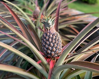 Baby Pineapple - Digital photography download