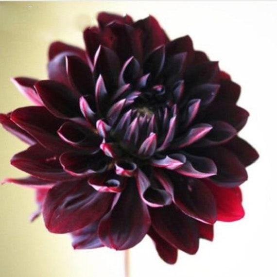 Rare Beautiful Perennial Dahlia Flowers Seeds 100pcs Black Etsy