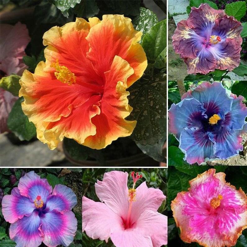 100pcs Mixed Rose Of Sharon Hibiscus Syriacus Flower Tree Etsy