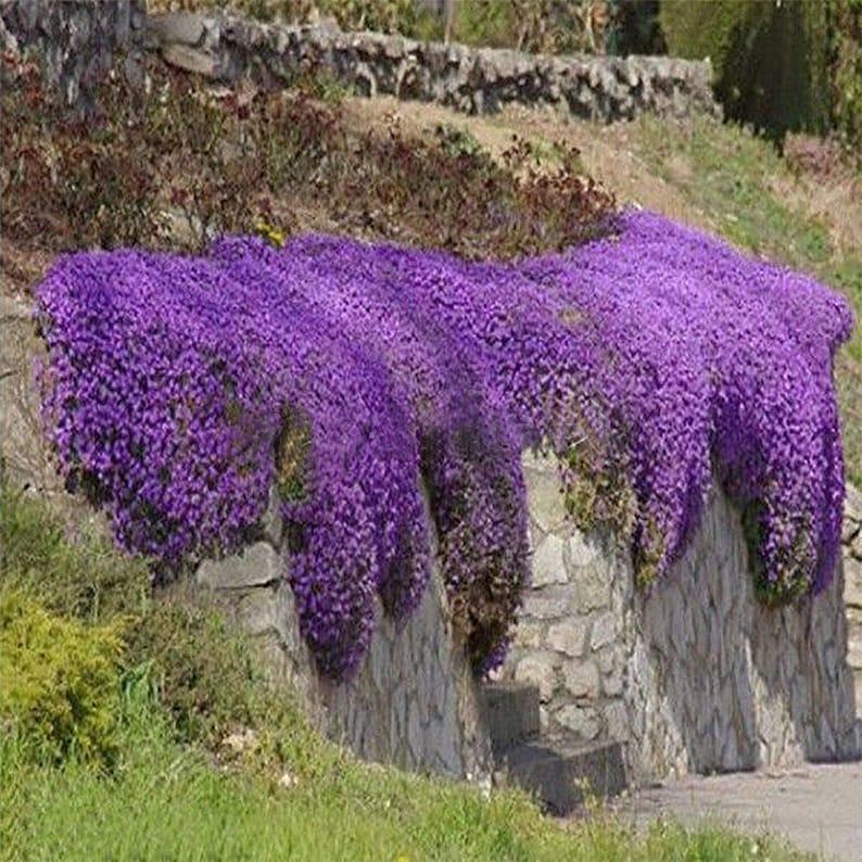 220pcs pack Aubrieta seeds Purple Linaceae Flower Seeds Ground  a14fa8f48820