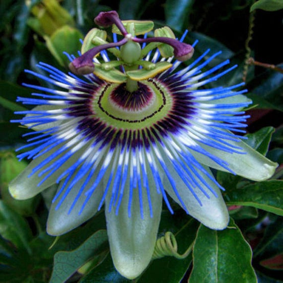100pcs New in 2019 Heirloom Passion Fruit Seeds Passion Fruit Sweet Fruit Fruit Passionflower Rare Flower Fruit Seed Red
