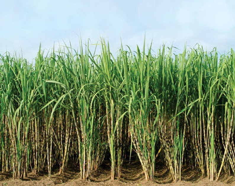 100pcs Sugarcane Seeds * 6-18ft   Edible cooked or you can make your OWN  sugar! no chemicals, no gmo, sugar cane, sugar plant