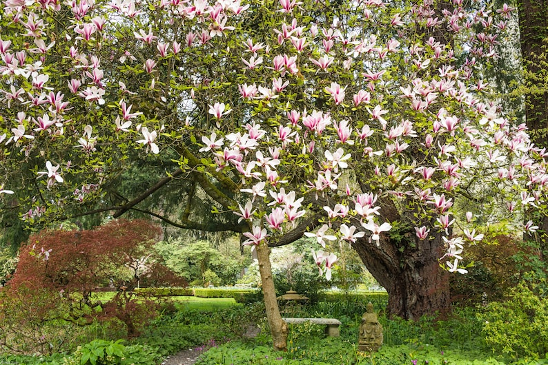 Blooming Magnolia Tree Magnolia Tree Landscape Photo Garden Etsy