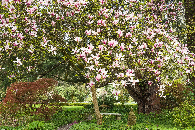 Blooming Magnolia Tree Magnolia Tree Landscape Photo Garden Etsy
