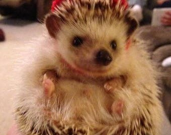Little Top Hat for Hedgehogs