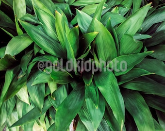 Nature Photography, Fortune Plant, Leaves, Green, Modern, Garden, Art Print, Art, Landscape, Fern, Photography, Wall Decor, Living Room Art