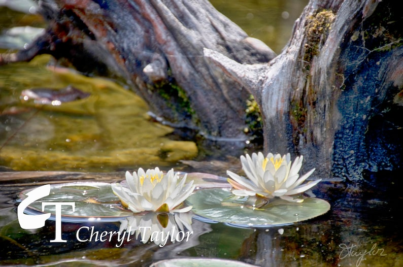 Water Lilies Digital Photograph Download (watermark free)