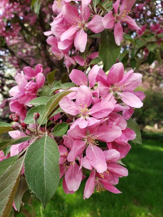 Crab Apple Tree In Bloom Digital Etsy