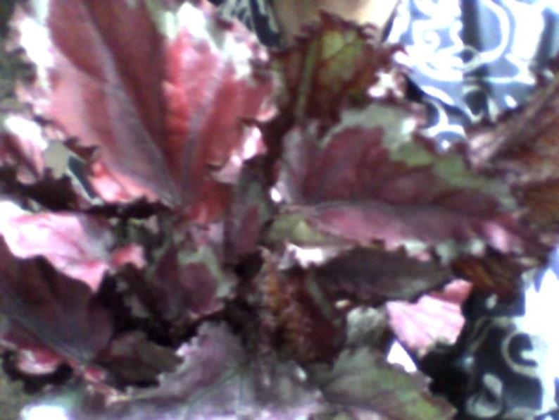 Rare Rex Begonia Hybrid   Beautiful