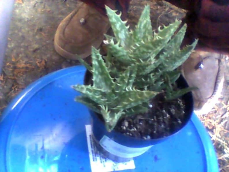 Aloe Zanzabarica The amazing and prolific  Zanzabar Aloe