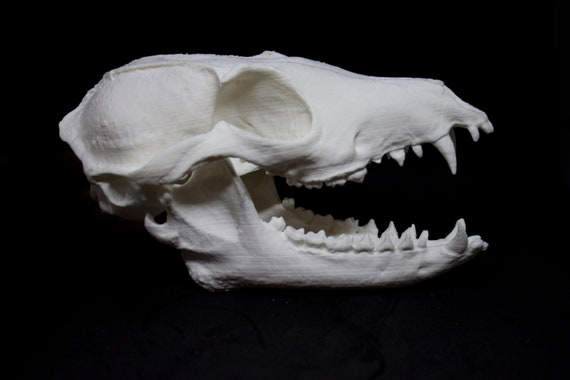 Realistic Fox Skull 3d Printed Cruelty Free Way Of Getting A Etsy Huge collection, amazing choice, 100+ million high quality, affordable rf and rm images. realistic fox skull 3d printed cruelty free way of getting a realistic fox skull and mandible