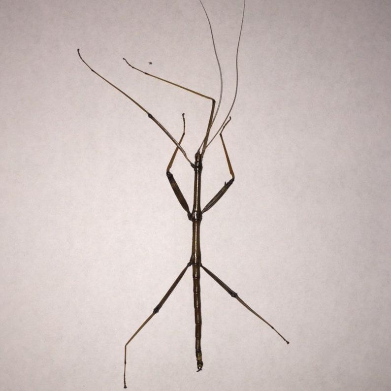 Walkingstick dead specimen caught local USA