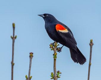 Red-winged Blackbird - Bird Wall Decor, Bird Home Decor, Bird Metal Wall Art, Bird Lover Gift, Bird Gifts, Bird Decor, Birdwatching