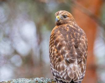 Red-shouldered Hawk - Bird Wall Decor, Bird Home Decor, Bird Metal Wall Art, Bird Lover Gift, Bird Gifts, Bird Decor, Birdwatching