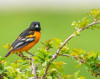 Baltimore Oriole - Bird Wall Decor, Bird Home Decor, Bird Metal Wall Art, Bird Lover Gift, Bird Gifts, Bird Decor, Birdwatching