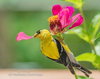 Goldfinch with Pink Zinnia - Bird Wall Decor, Bird Home Decor, Bird Metal Wall Art, Bird Lover Gift, Bird Gifts, Bird Decor, Birdwatching