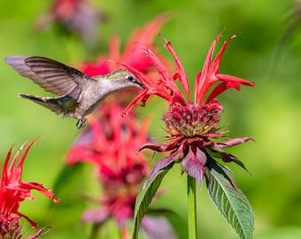 Ruby Throated Hummingbird - Bird Wall Decor, Bird Home Decor, Bird Metal Wall Art, Bird Lover Gift, Bird Gifts, Bird Decor, Birdwatching