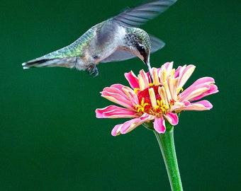 Hummingbird with Pink Zinnia Flower- Bird Wall Decor, Bird Metal Wall Art, Bird Lover Gift, Bird Gifts, Bird Decor, Birdwatching, Flower art
