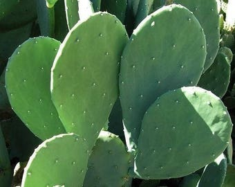 3 LARGE PADS! Spineless Thornless Edible Nopales Prickly Pear Cactus - Easy and FAST Growing!
