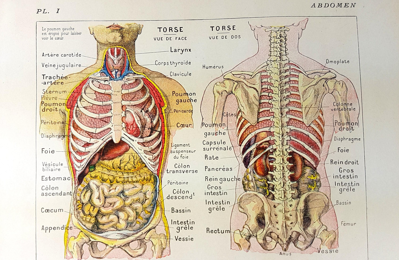 Bauch Verdauungsorgane Magen Anatomie Wörterbuch Druck | Etsy