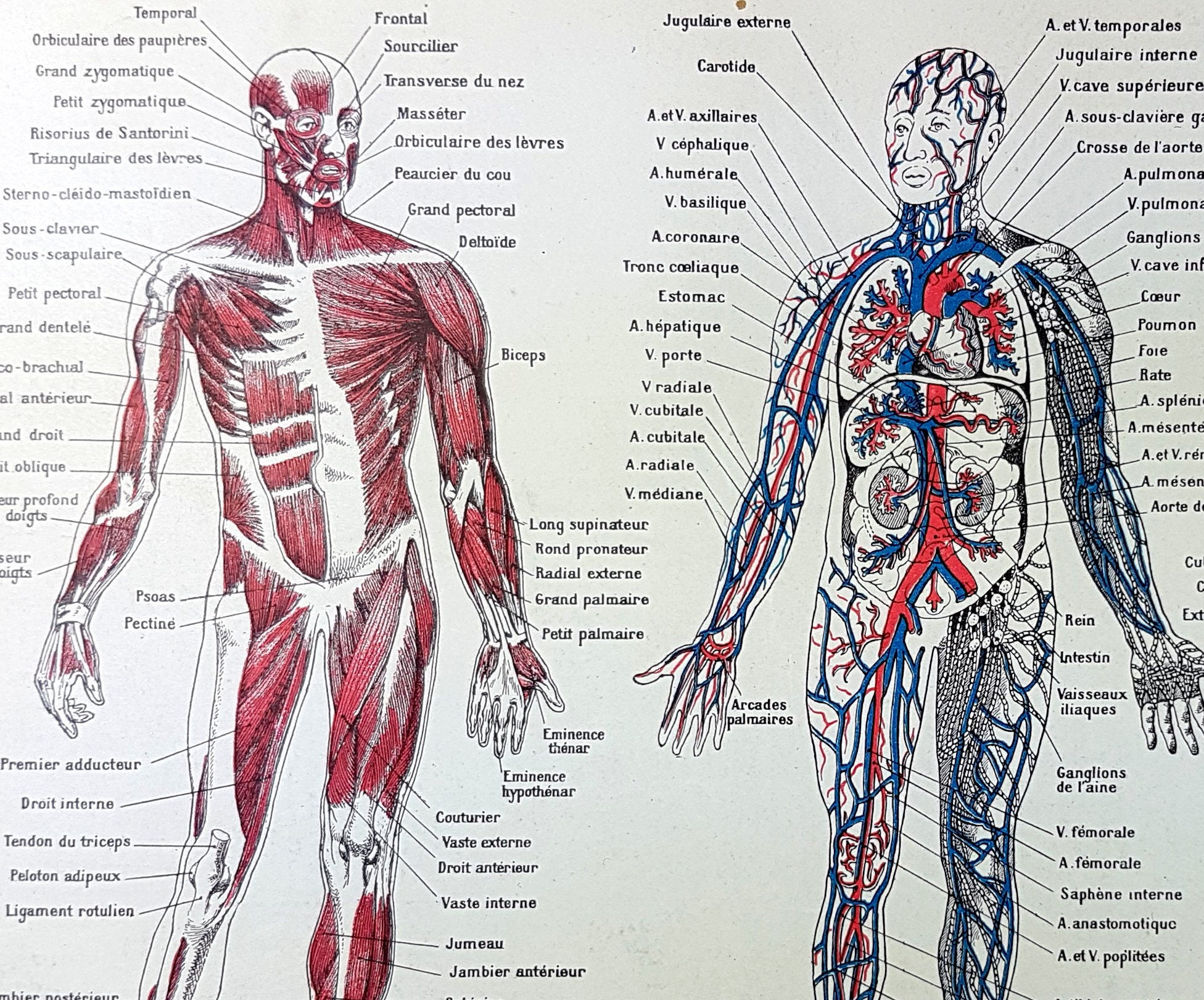 Large Dictionary Print Human Body Skeleton Organs Muscles Etsy