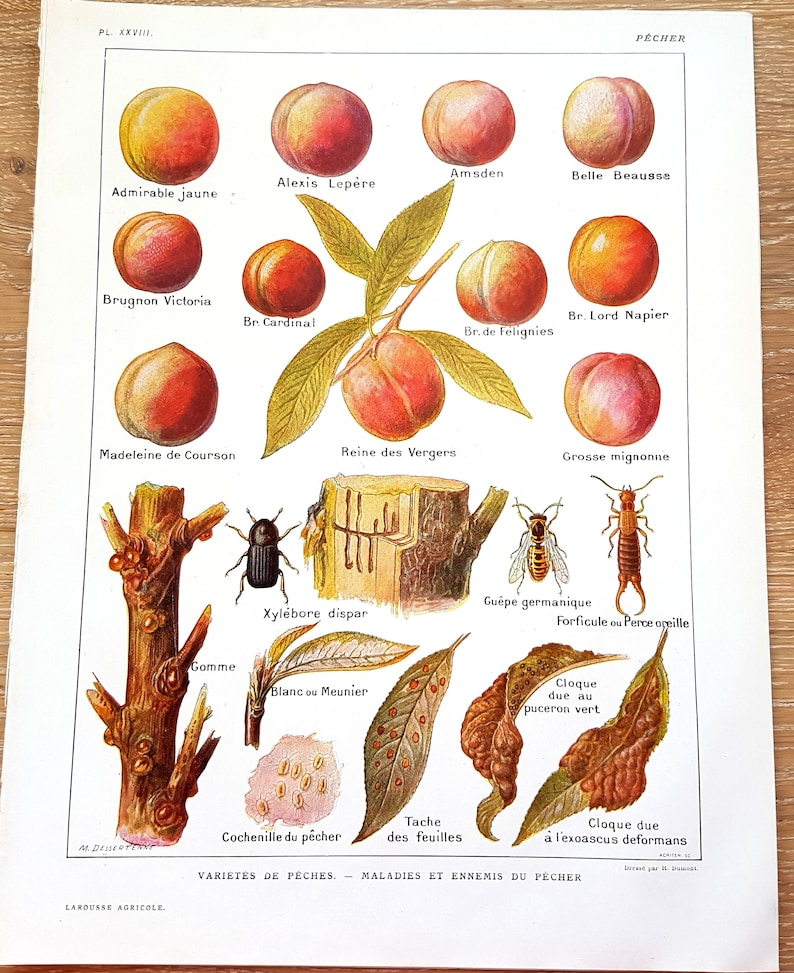 French Vintage framing Larousse image to frame original lithograph from Encyclopedia original book page XL disease peach fruit Print