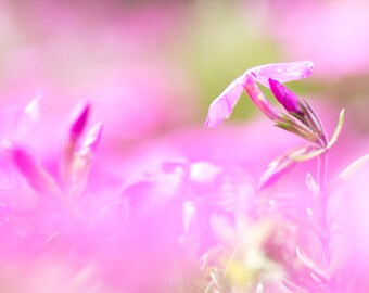Pink Phlox, Flower Print, Flower Photography, Fine Art Print, Photography Print, Wall Art, Free Shipping, Gift for Her, Nature Print